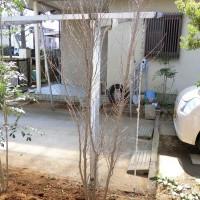 ヒメシャラの植え方 宿根ガーデン