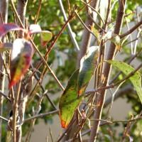 常緑ヤマボウシ 植え方 宿根ガーデン