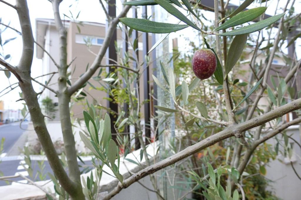 オリーブの植え方
